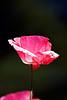 poppy_stark_24x36_PTRT_IMG_0146