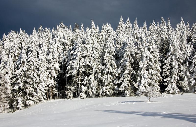 _MG_3702_rank_of_trees_snow_002_12x18