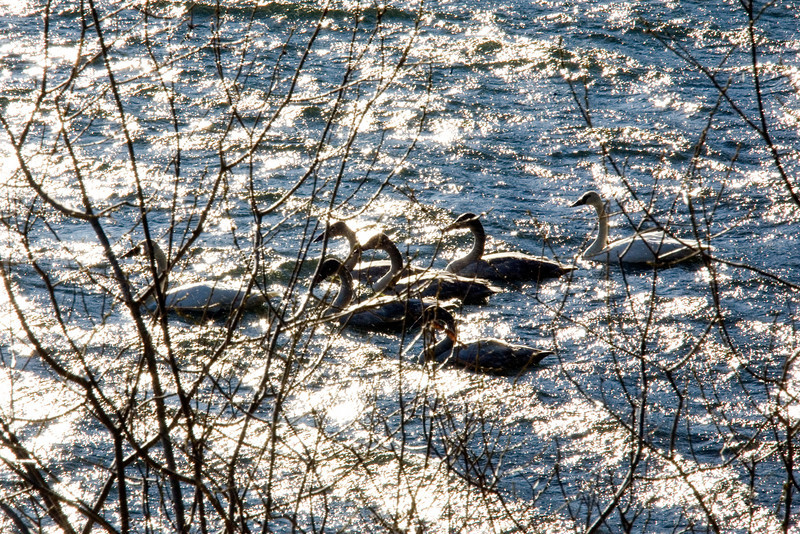 _MG_3779_sparkly_swans_in_the_ruff_001