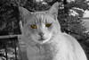 tiger_bw_yellow_6_9_001_MG_6253