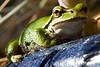 Fat_Frog_001_MG_6897_12_18