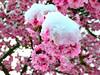 snow_on_cherry_blossom_2006_12_16