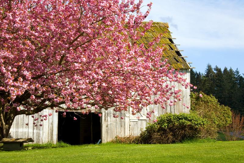 pink_tree_barn_8691_12x18