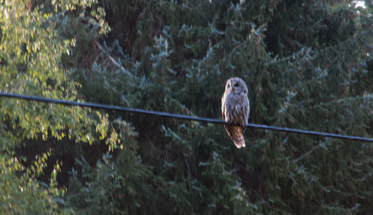 We successfully avoided traffic by leaving Seattle at 3:30 a.m. and boarding the 6:00 a.m. ferry from Anacortes to Orcas Island. While heading to our half mile walk in campsite we passed this owl.