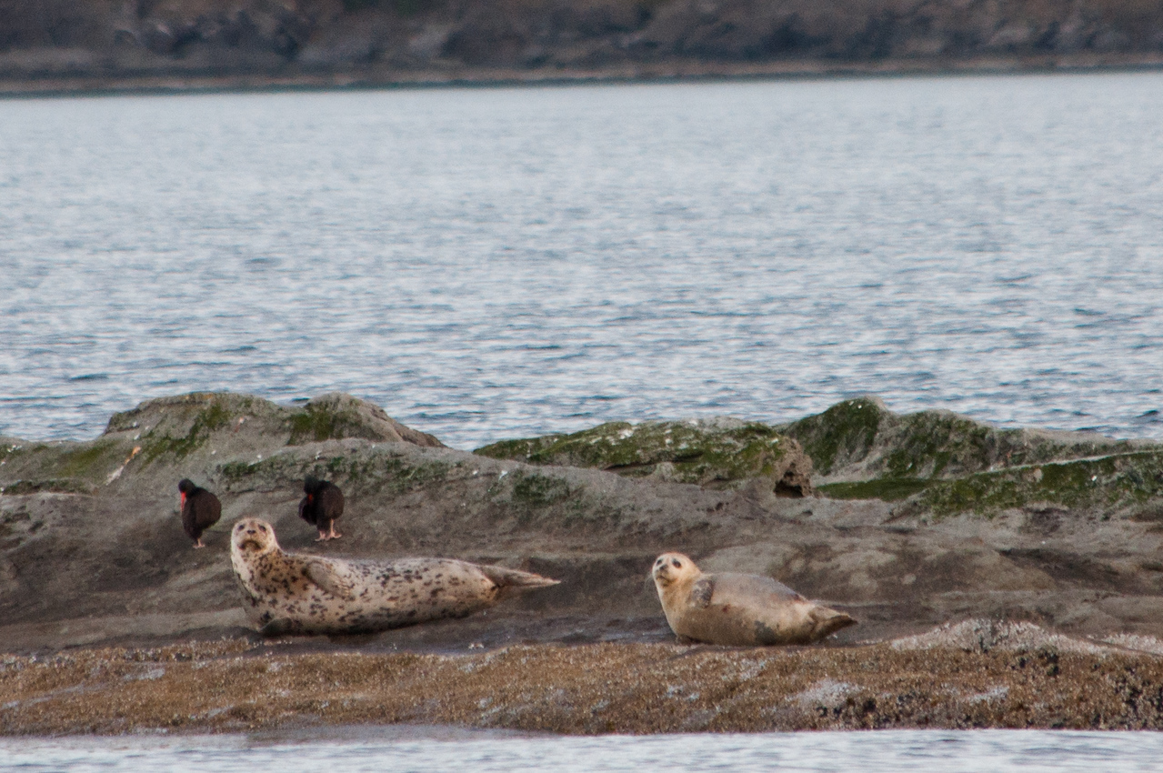 We deviate for other wildlife watching. Here some seals and oystercatchers.