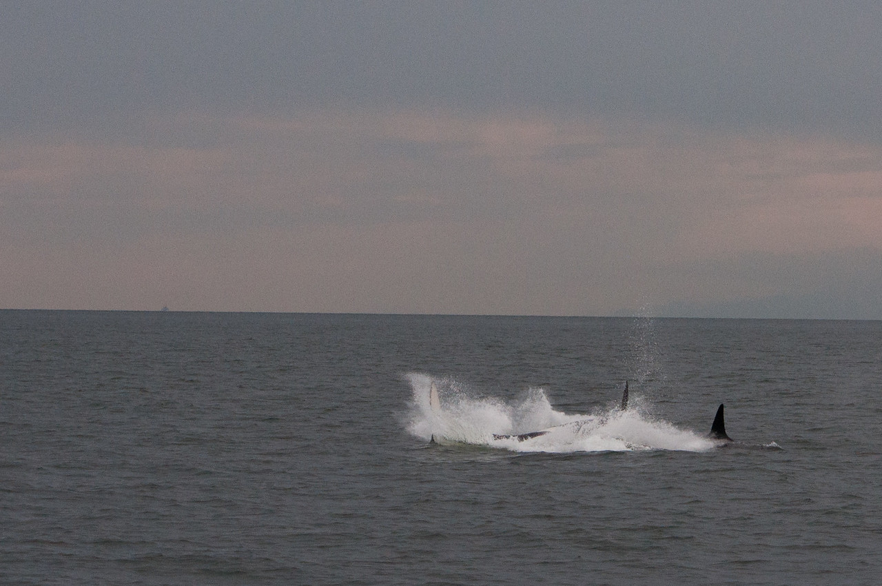 Here the pod is assassinating a porpoise