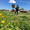 Dandelions bloomed at the feet of the apple trees at Griggs Farm and provided  a burst of color for the artist to paint. Photo by Mary Leach