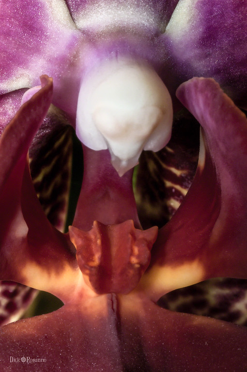 The Heart of an Orchid  3/19/2017