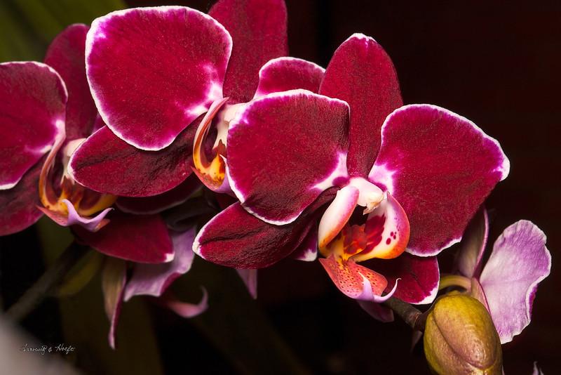 Orchid Spray  4/12/2008