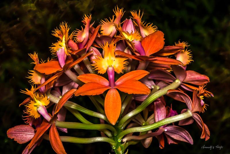 Orange Orchids 5/14/2014