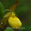 Cypripedium calceolus, Yellow Lady Slipper; Bucks County, Pennsylvania  2013-05-10  #25