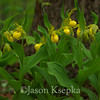 Cypripedium calceolus, Yellow Lady Slipper; Bucks County, Pennsylvania  2013-05-10  #16