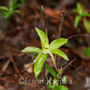 Isotria verticillata, Large Whorled Pogonia; Burlington County, New Jersey  2013-05-19  #4