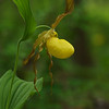 Cypripedium calceolus, Yellow Lady Slipper; Bucks County, Pennsylvania  2013-05-10  #48