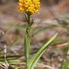 Platanthera cristata, Orange Crested Orchid; Ocean County, New Jersey 2014-08-08   7