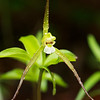 Isotria verticillata, Large Whorled Pogonia; Burlington County, New Jersey  2013-05-19  #14