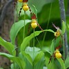Cypripedium parviflorum var makasin, Small Yellow Lady's Slipper; Sussex County, New Jersey 2015-05-17   43