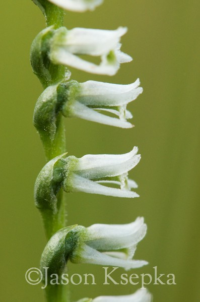 Spiranthes lacera, Slender Ladies' Tresses; Monmouth County, New Jersey 2014-08-16   26