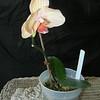 Phalaenopsis 0515B