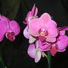 Phalaenopsis 0615H