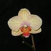 Phalaenopsis 0515B (Perhaps Baldan's Kaleidoscope?)
