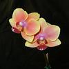 Phalaenopsis 0615 C