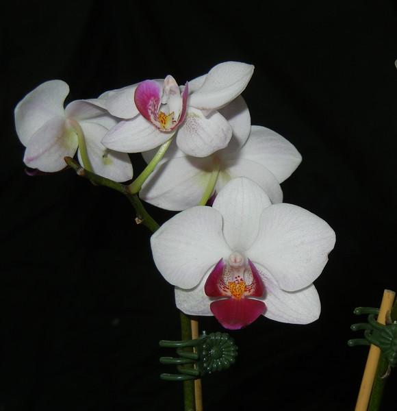 Phalaenopsis 0515C