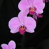 Phalaenopsis 0615B