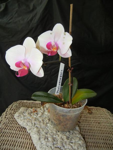 Phalanaeopsis 0515A