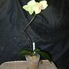 Phalaenopsis 0615A