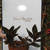 Jewel Orchid - Ludiscia Discolor