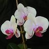 Phalaenopsis 0515A