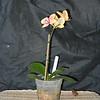 Phalaenopsis 0615C