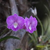 Dendrobium Burana Stripe (unverified)
