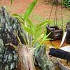 Dendrobium (Burana Stripe - Inverified)