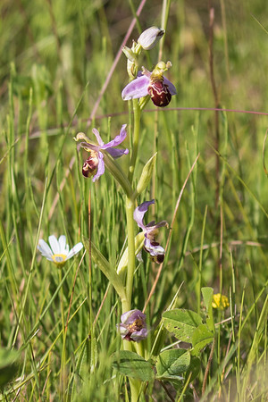 Bee Orchid ~ Biblomst