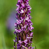 Early Marsh-Orchid - Kødfarvet Gøgeurt