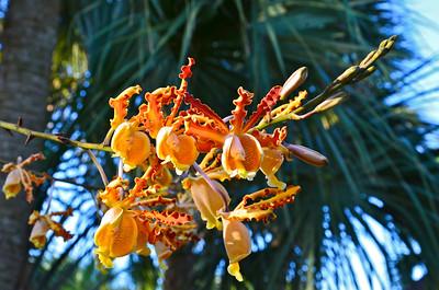 Schomburgkia tibiscinis orchid