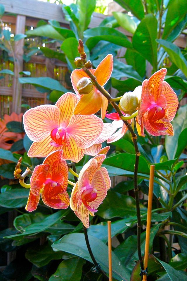 Phalaeonopsis  orchid