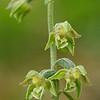 Epipactis microphylla - Kleinbladige wespenorchis - Small-leaved helleborine