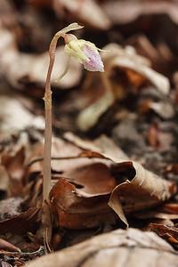Epipogium aphyllum - Spookorchis - Ghost orchid