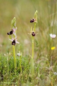 Ophrys bertolonii and Ophrys incubacea - Zadelophrys en Zwarte spinnenorchis - Bertolini's bee orchid and Dark spider-orchid