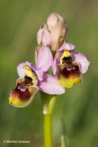 Ophrys neglecta - Italian sawfly orchid