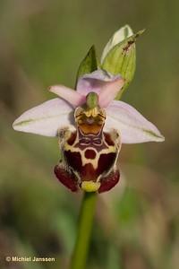 Ophrys apulica - Apulian ophrys