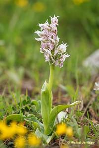 Neotinea lactea - Maskerorchis - Milky Orchid