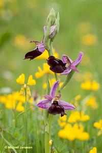 Ophrys ferrum-equinum - Hoefijzerophrys - Horseshoe Ophrys