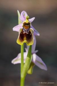 Ophrys korae - Kore Ophrys