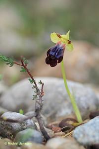 Ophrys iricolor - Regenboogophrys - Rainbow Ophrys