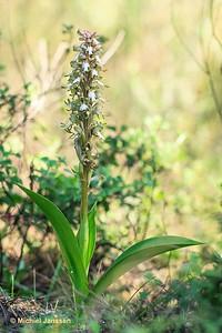 Barlia robertiana - Reuzenorchis - Giant Orchid