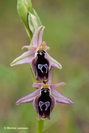 Ophrys reinholdii - Reinholds ophrys - Reinhold's Ophrys